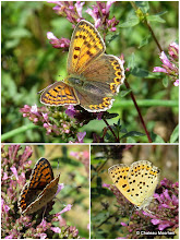 Photo: Sooty Copper (Lycaena tityrus), female. A test post, posted direct from an album. I also wanted to see how a collaged in Picasa photo would appear here!