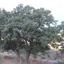 Valonia oak