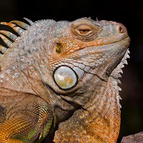 Disdain by Chris Seaton - Animals Reptiles (  )