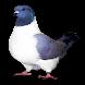 Races de pigeon