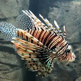 Pterois by Paramasivam Tharumalingam - Animals Fish (  )