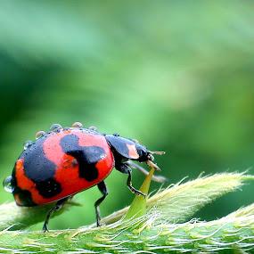 Ladybug The Explorer by Adnan Hidayat Prihastomo - Instagram & Mobile Other ( macro, red, ladybug, insect, print )