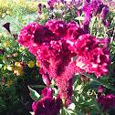 Mano de León o Flor de Terciopelo