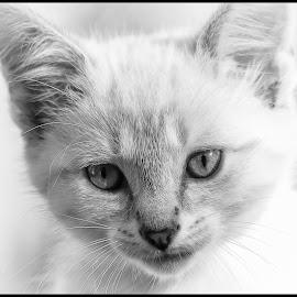 Kitten by Dave Lipchen - Black & White Animals ( kitten )