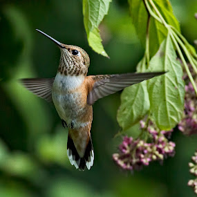 Rufous Hummingbird by Sheldon Bilsker - Animals Birds