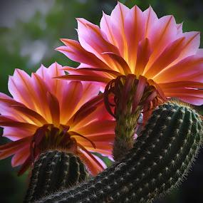 Flying Saucers by Dawn Hoehn Hagler - Flowers Flower Gardens ( pink flower, arizona, tohono chul park, tucson, flying saucers, pink, cactus flower, garden, flower, torch cactus, cactus,  )
