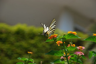 Photo: Scarce Swallowtail, Hanioti Greece 30.07.09 Nikon D80