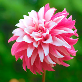 Red & White Dahlia #4 by Jim Downey - Flowers Single Flower ( red, green, white, dahlia, petals )