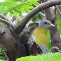 Yellow-footed Green Pigeon(with chicks)