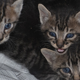 Where is our Mom? by Diadjeng Laraswati H - Animals - Cats Kittens (  )