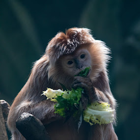 Monkey lunch by Rusty Goris - Animals Other Mammals ( primate, lunch, monkey, almost human, eating, bronx zoo )