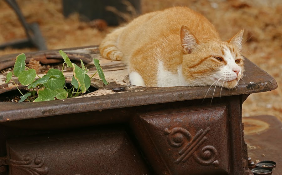 Zappa Cat by Jeannine Jones - Animals - Cats Portraits (  )