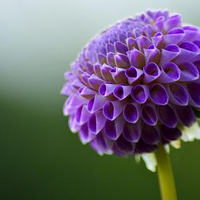 PURPLE DAHLIA by Paula NoGuerra - Flowers Single Flower ( details, nature, single flower, dahlia, flower,  )