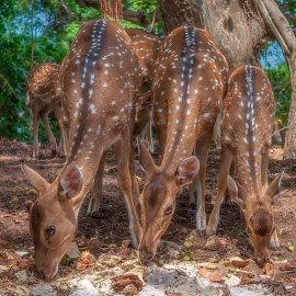 spotted deer  by Peter Schoeman - Animals Other Mammals ( fur, habitat, fauna, axis, graceful, spotted, red, beautiful, white, season, animals, female, day, natural, tree, brown, herbivore, morning, eye, hairy, spot, spots, animal, looking, doe, deer, forest, young, isolated, tourism, cute, life, head, mammal, ear, elegant, park, wildlife, green, nature, asia, eating, outdoor, tropical, standing, environment, hoofed, dappled, fawn, wild )