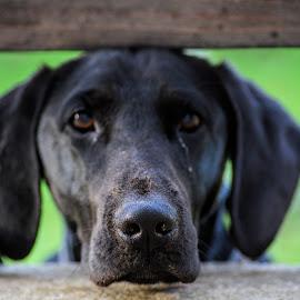 My precoius by Josipa Strnišćak - Animals - Dogs Portraits ( labrador, animal, black dog, portrait, dog, love animals )