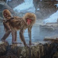 Snow Monkeys di