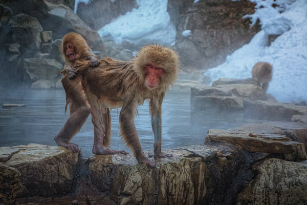Snow Monkeys di Alan_Gallo
