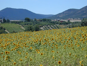 Photo: Sunflowers are a New World domesticate now planted all over the world.  This is a large field  planted for oil in the Chianti region of Italy - note the long rows of grapes which are an important 'crop' in this region of Italy.