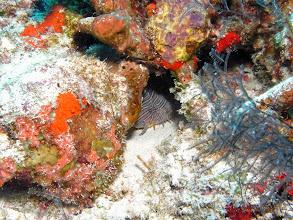 Photo: Splendid Toadfish