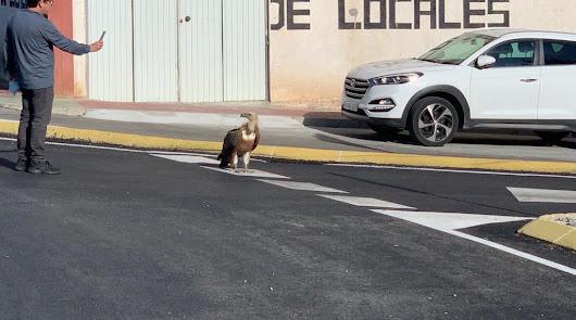 El buitre caminó por el asfalto sin miedo alguno.