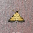 Rice Leafroller Moth