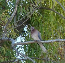 Photo: Tortora delle palme | Streptopelia senegalensis | Laughing Dove