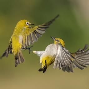 Fun in Air by Jineesh Mallishery - Animals Birds ( bird, wildlife, india, fun, animal )