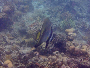 Photo: Platax pinnatus (Pinnate Batfish), Chindonan Island, Palawan. Philippines.