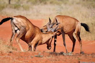 Photo: Two Red Hartebeest in a sparring contest in the Mokala National Park.