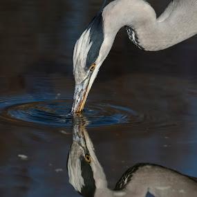 Cenerino by Nando Scalise - Animals Birds