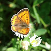 Large copper_female