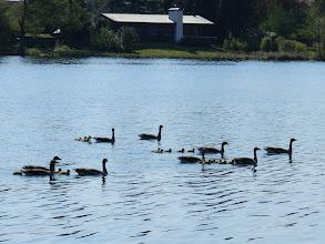 Photo: Wildgänse mit ihren Jungen unterwegs auf dem Großensee