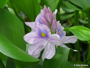 Photo: Water Hyacinth, University of Dundee Botanic Garden