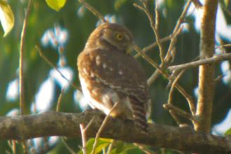 Photo: Colima Pygmy-Owl