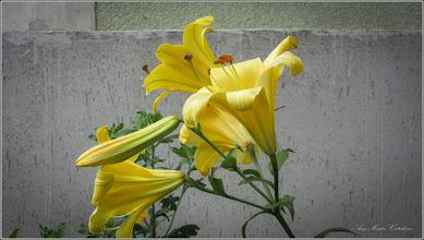 Photo: Crini (Lilium bulbiferum) - din Turda, Str. Avram Iancu, la o curte - 2019.06.28