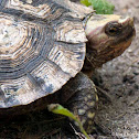 Mexican Spotted Wood Turtle
