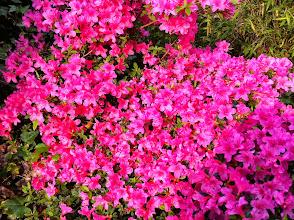 Photo: Naturgarten Düsseldorf Lohausen,Azalee
