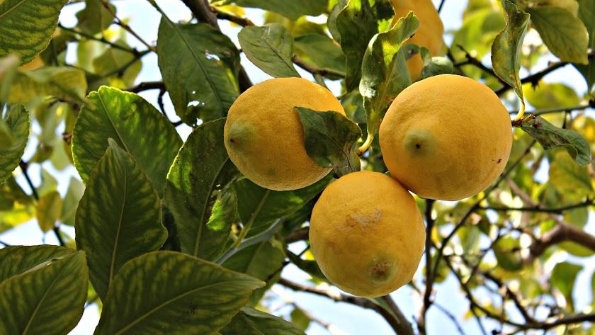 Imagen de archivo de un limonero.