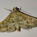 salvinia stem-borer moth