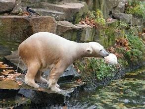 Photo: Ochsenschwanz ist egal - Knut findet den Ball interessanter :-)