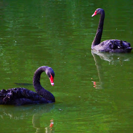 The Swan Couple by Joatan Berbel - Animals Other ( madrid, swans, park, colorful, nature photography )