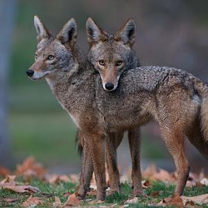cali_coyotes_11.jpg