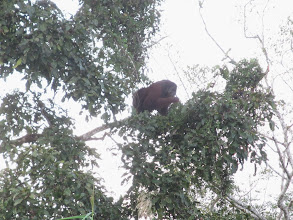 Photo: Wild male oragutan