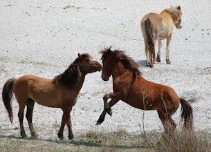 """Photo: These feral horses are from the same """"harem."""" Left to right: Sugarfoot (lead stallion), Trilobite (subordinate stallion) and Beth (female) in the background."""