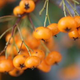 baie orange by Nathalie Coget - Nature Up Close Gardens & Produce (  )