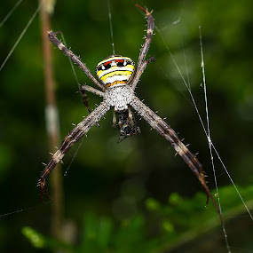 argiope spider  by Zaidi Razak - Animals Insects & Spiders