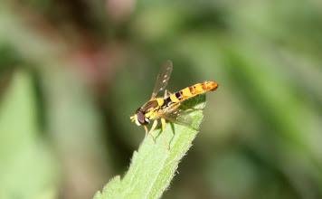 Photo: Sphaerophoria scripta  Diptera  > Syrphidae