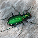 Six-Spotted Tiger Beetle (with Mites)