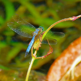 Great Blue Skimmer by Rita Goebert - Animals Insects & Spiders ( rainbow springs state park; florida; great blue skimmer; dragonfly;,  )