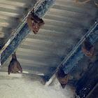 Gambian Epauletted Fruit Bat